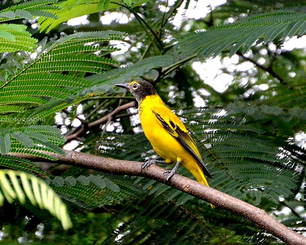 The Beautiful Yellow Jaldapara Bird