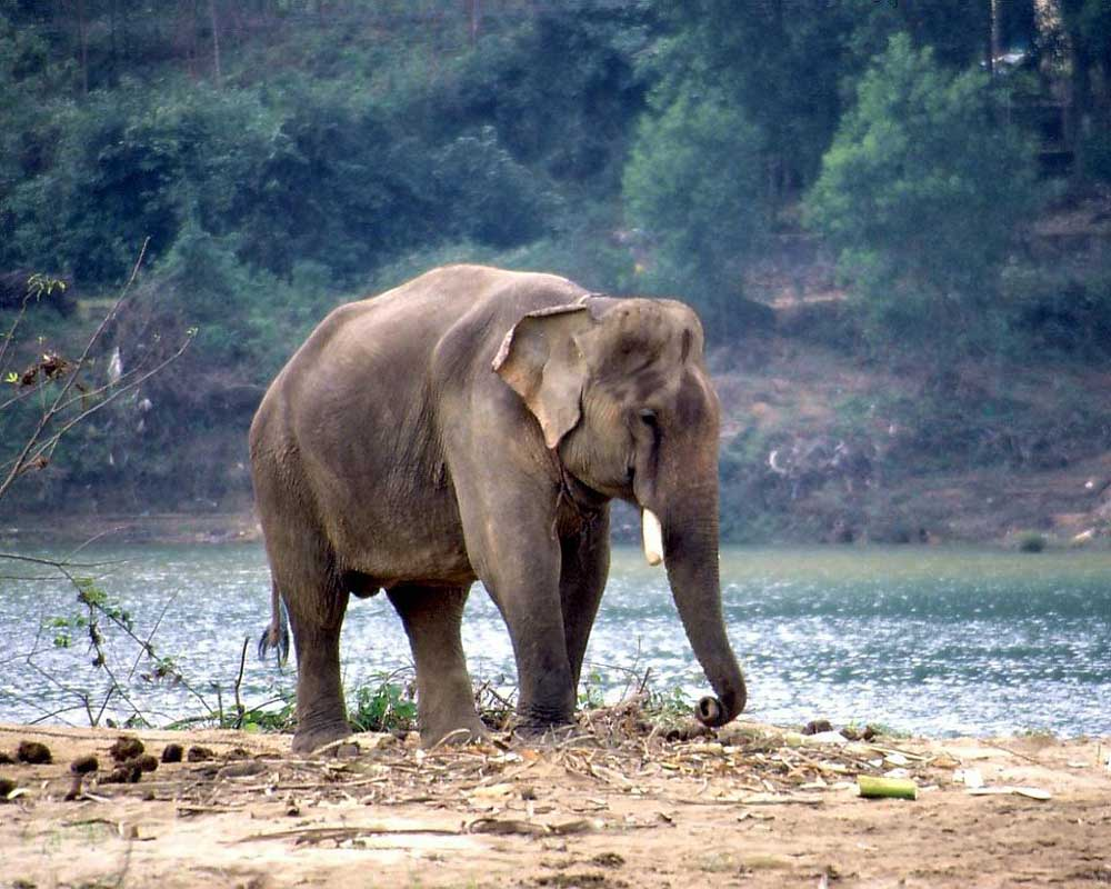 The Jaldapara Famous Elephant