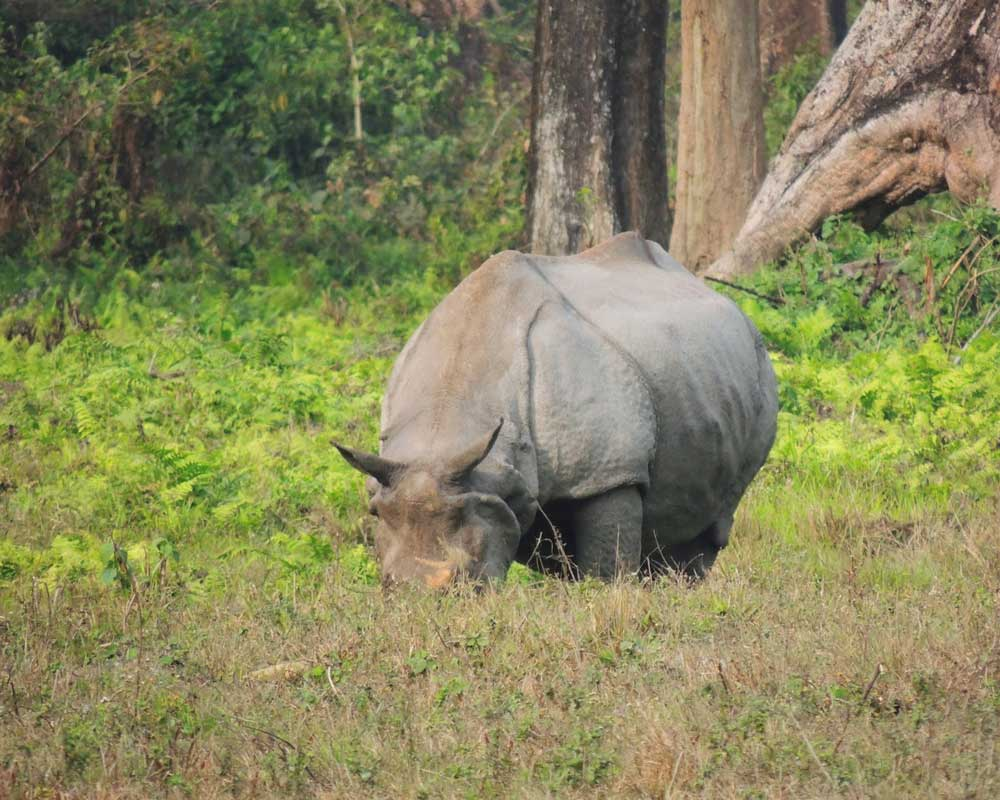 Jaldapara Rhino busy in eating grass