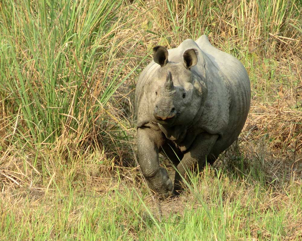 The famous Rhino of Jaldapara wildlife Sanctuary having food