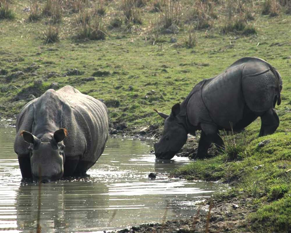 Thirsty Rhino drinking water in Jaldapara wildlife Sanctuary