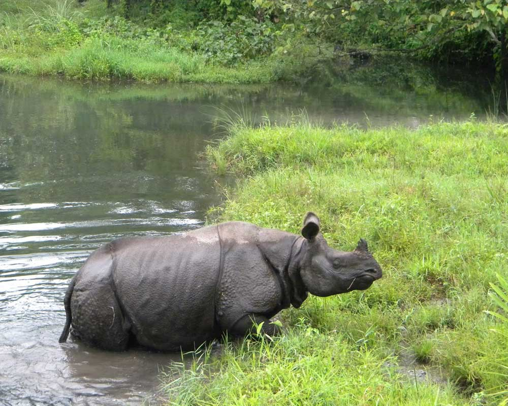 Jaldapara Rhino playing with cold water