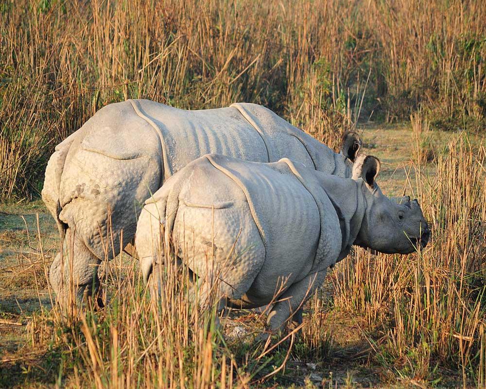 Jaldapara Rhino having grass in morning time