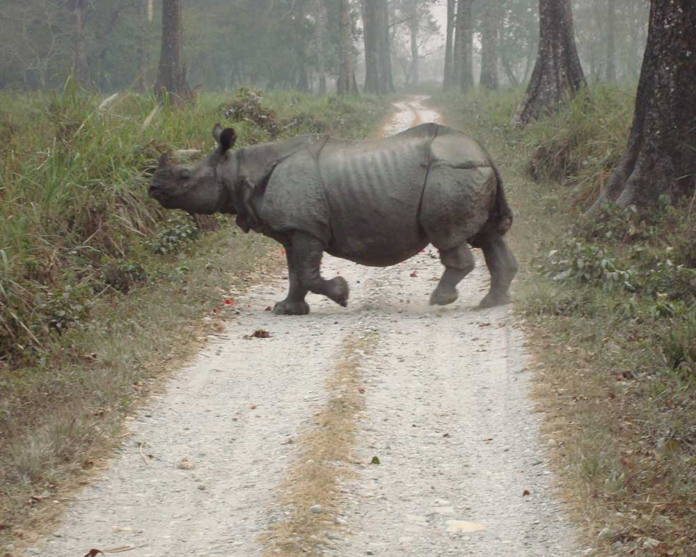 Hungry Rhino Roaming in Jaldapara Wildlife Sanctuary
