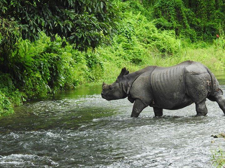 The Rhino enjoying flow of water in Jaldapara Wildlife Sanctuary