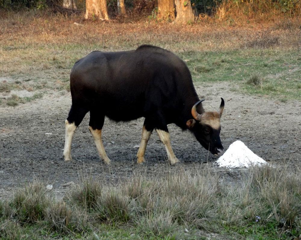 Bison eating food in Jaldapara Wildlife Sanctuary