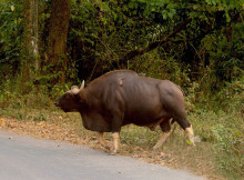 jaldapara-wildlife-bison5