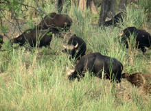 jaldapara-wildlife-bison6