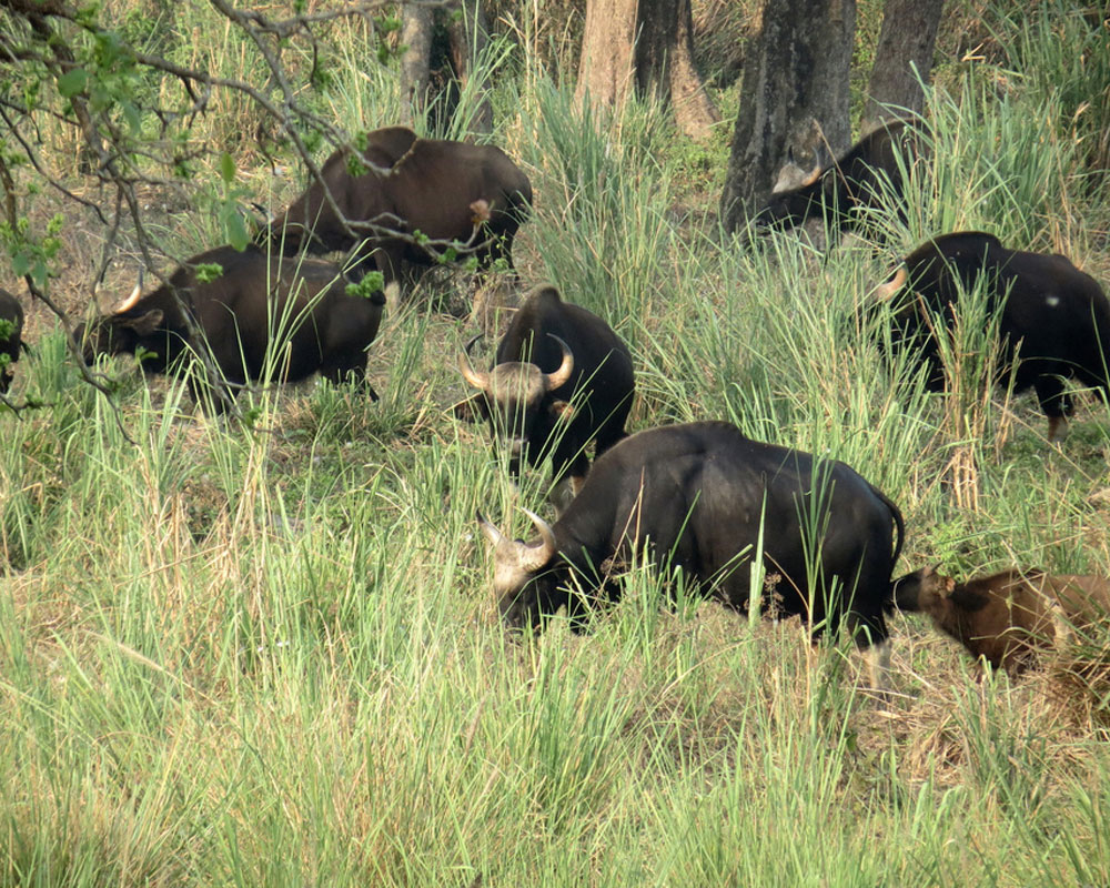 Jaldapara Bisons enjoying the fresh Grass Breakfast