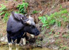 jaldapara-wildlife-bison7