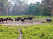 jaldapara-wildlife-bison8