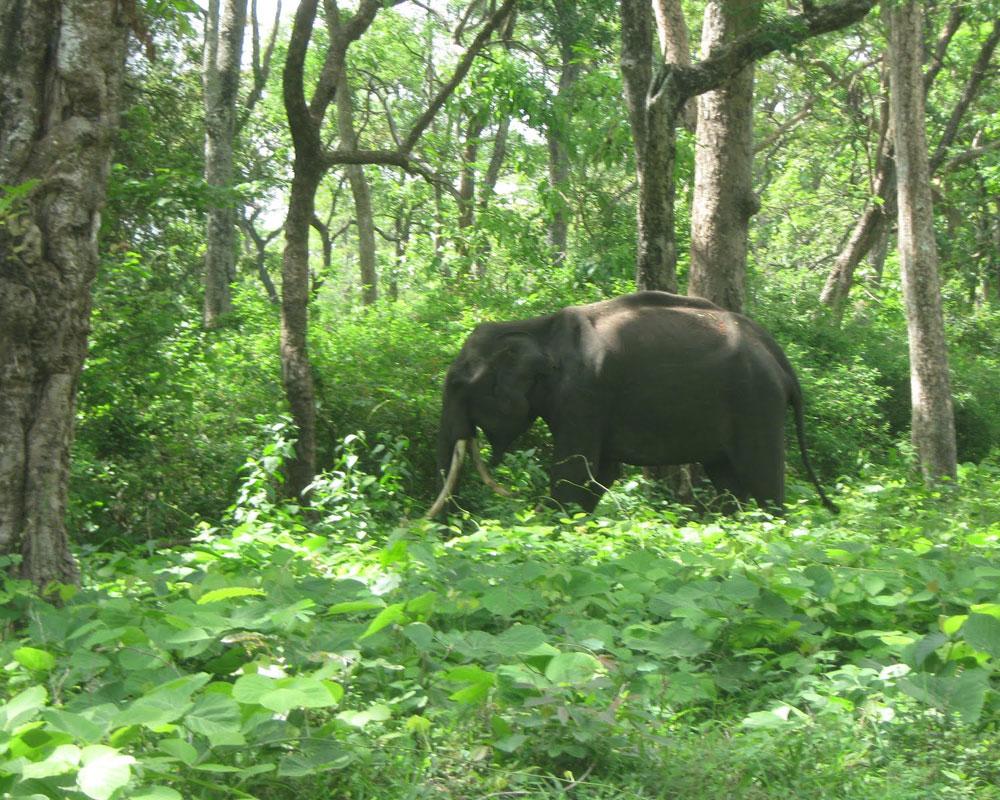 Elephant is Roaming in Jaldapara National Park