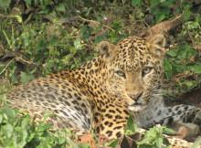 jaldapara-wildlife-leopard