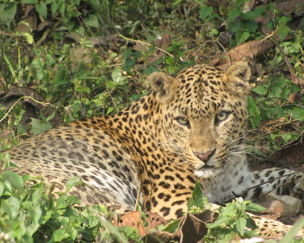 The famous Jaldapara Leopard