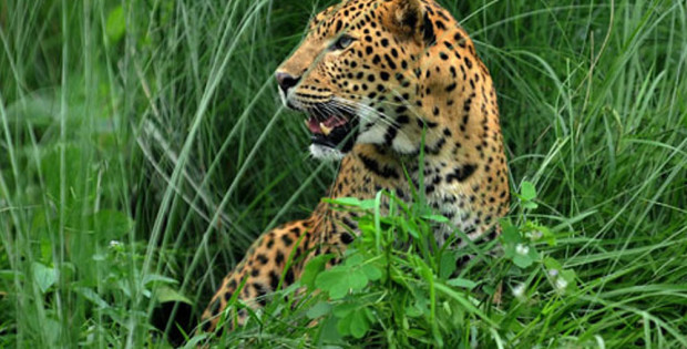 jaldapara-wildlife-leopard2