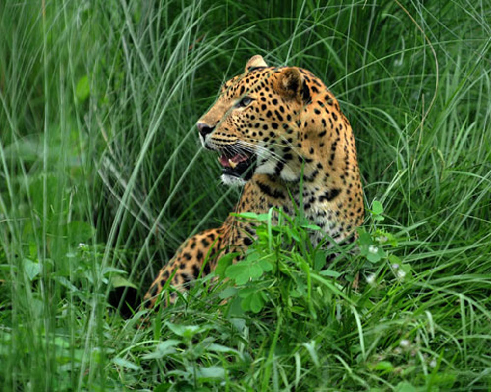 Leopard Sitting in the Grass Bush of Jaldapara National Park